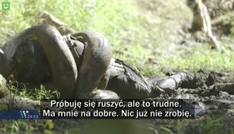 Człowiek wchodzi do wnętrza anakondy