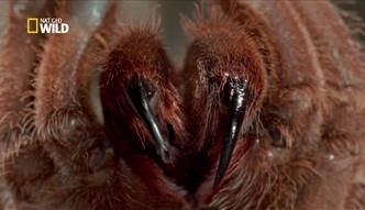 Najgroźniejsze zwierzęta świata - ptasznik