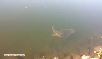 Zielony żółw morski zaskoczył wędkarza