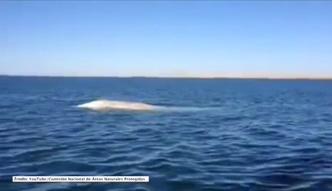 Wieloryb albinos u wybrzeży Meksyku