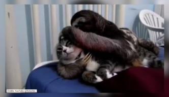 Kot w czułych objęciach leniwca