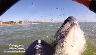 Wieloryb niemal zrzucił kobietę z deski