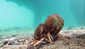 Bezwzględny świat natury: płaszczka pożera kraba