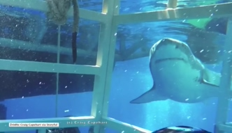 Żarłacz biały wpłynął do klatki z nurkiem