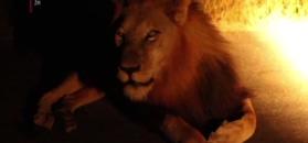 Niezwykłe spotkanie turystów z królem zwierząt