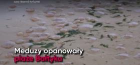 Inwazja meduz w Świnoujściu. Parzydełkowce opanowały plażę
