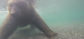 Rosjanin nagrał jak niedźwiedź łowi pod wodą