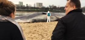 Wieloryb na brzegu Wisły