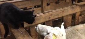 Kot zaczepiał owcę w zagrodzie. Nieoczekiwany finał zabawy