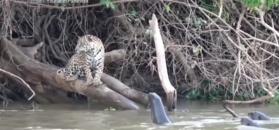 Jaguar konta wydry. Zobacz, jak to się skończyło