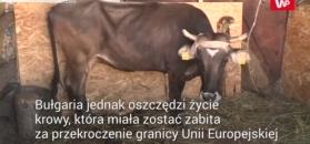 Bułgarska krowa jednak będzie żyć