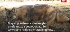 Wilki z Czarnobyla