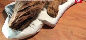 Szczenię wilka wyciągnięte z wiecznej zmarzliny. Ma ok. 50 tys. lat