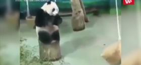 Kung fu panda w rzeczywistości. Musi jeszcze poćwiczyć