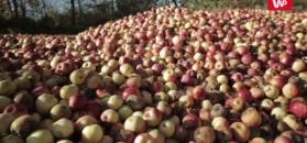 Tony jabłek gniją w błocie. Sadownicy są zrozpaczeni