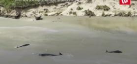 145 martwych wielorybów. Odkrycie na plaży w Nowej Zelandii
