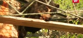 Poruszająca historia niedźwiadka. Należy do chronionych gatunków