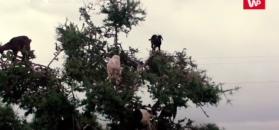Co robi koza na drzewie? Wiele osób nie zdaje sobie z tego sprawy