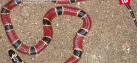 Badacze odkryli nowy gatunek węża w żołądku innego węża