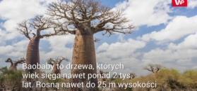 Baobaby umierają. Eksperci: to wina zmian klimatycznych