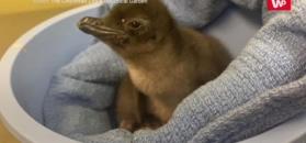 Mały pingwin o niezwykłym imieniu