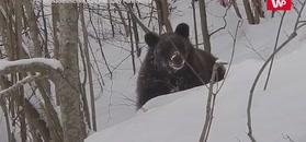 """""""Czemu ty nie śpisz?"""". Leśnik nagrał """"rozmowę"""" z niedźwiedziem"""