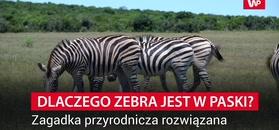 Dlaczego zebra ma paski? Nowe wyjaśnienie ekspertów