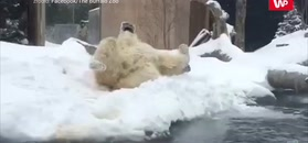 Tak trzeba korzystać z zimy. Weź przykład z niedźwiedzia