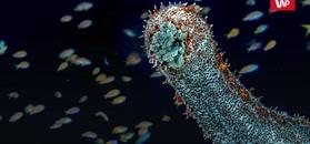 Ogórki morskie. Jak one pływają?