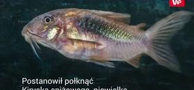 Pijany Holender połknął rybkę akwariową. Szybko tego pożałował