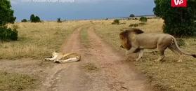 """""""Budzenie"""" lwicy. Nagranie z Parku Narodowego Krugera"""