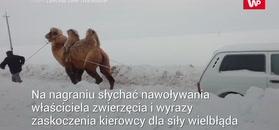 Wielbłąd wyciąga ładę. Nagranie z Rosji