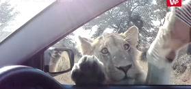 Ciekawski kotek. Nagranie z safari