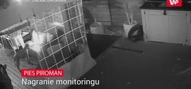 Pies piroman. Nagranie monitoringu
