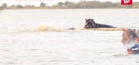 Nie zadzieraj z hipopotamami. Nawet jak jesteś drapieżnym rekinem