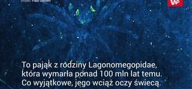 Świecący pająk. Wyginął 110 milionów lat temu