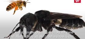 Okaz największej pszczoły na świecie odnaleziony po 38 latach