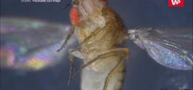 Eksperyment na muszkach owocówkach. Zaskakujące wyniki