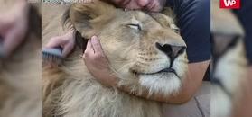 Trzymał lwy w ogródku. Znaleziono go martwego