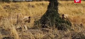 Młode lwy kontra mangusta. Zobacz jak to się skończyło