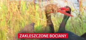 Zakleszczone bociany. Nagranie z Parku Krugera