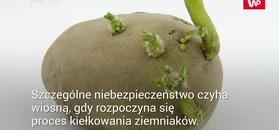 Trująca solanina w ziemniakach