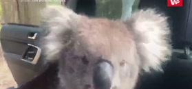 Uparty miś koala w samochodzie