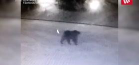 Niedźwiedzie się wybudzają