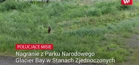 Polujące niedźwiedzie. Niesamowite nagranie
