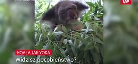 Koala jak mistrz Yoda