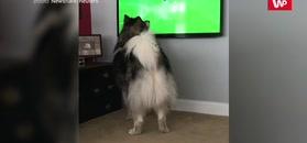 Pies z fiołem na punkcie piłki. Nagranie właścicieli