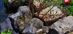 Szalej jadowity - zabójcza roślina w twoim ogródku