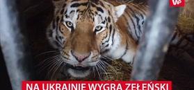 Tygrys wskazał, kto wygra wybory