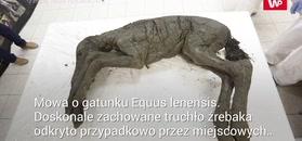 Niesamowite odkrycie w szczątkach źrebaka sprzed 42 tys. lat